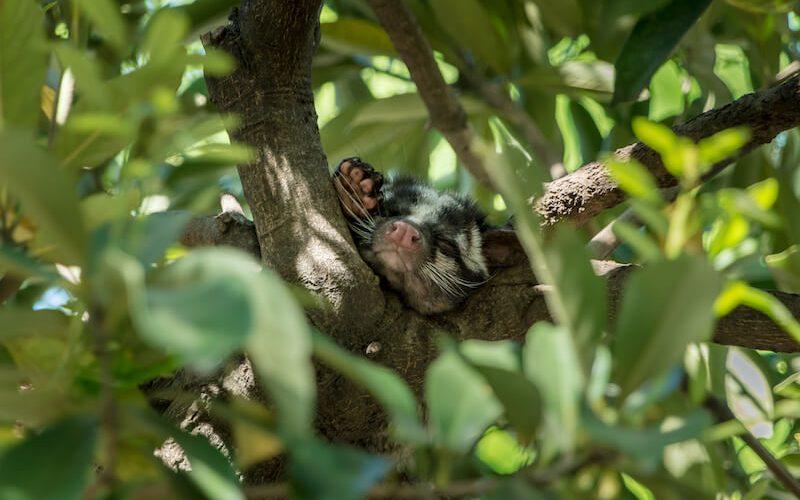 木の枝で眠るハクビシン